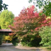 Acer iaponicum palmatum (di circa 90 anni)