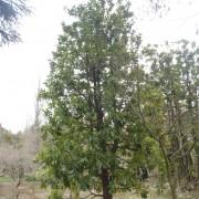 MAGNOLIA GRANDIFLORA (11 mt.)