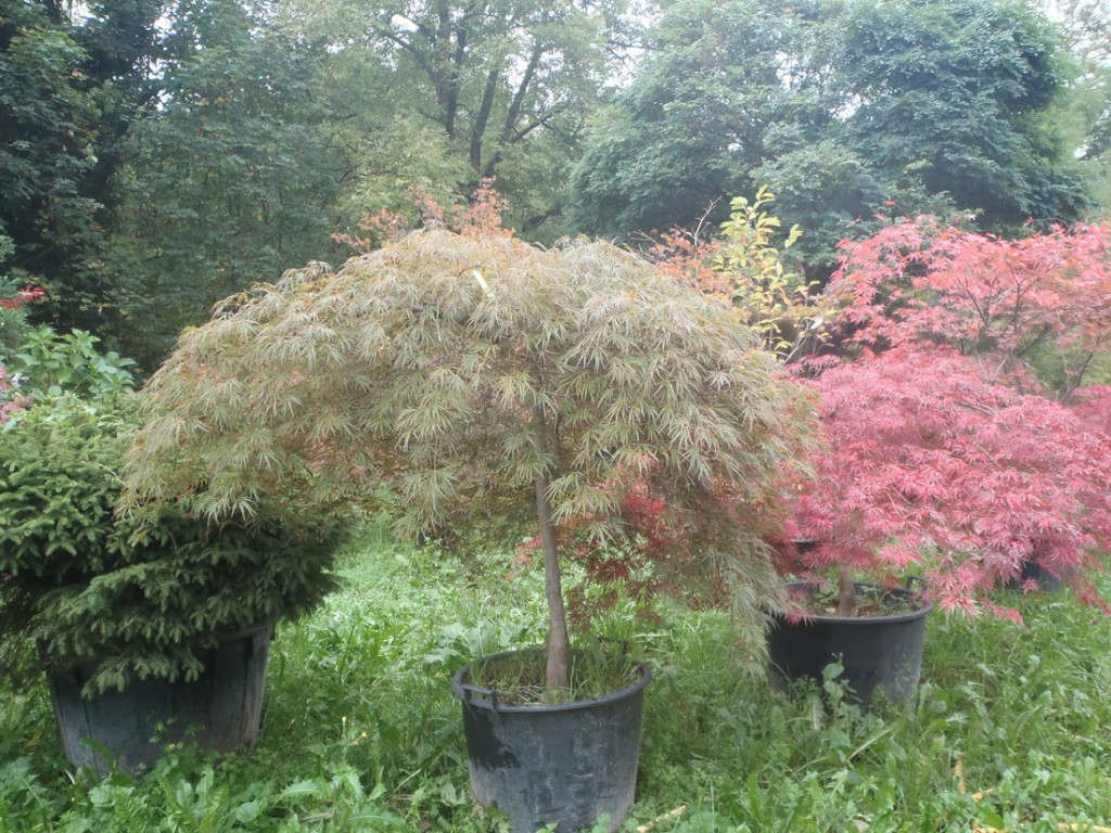 Vivaio Acero Rosso : Aceri giapponesi u2013 vivai pozzi