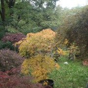 Acer iaponicum dissectom green globe