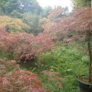 Acer iaponicum dissectom (varietà)