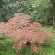Acer iaponicum dissectom garnet