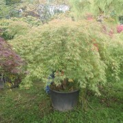 Acer iaponicum dissectom green lace