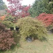 Acer iaponicum dissectom (in varietà)