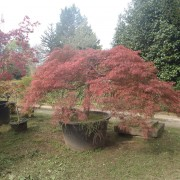Acer iaponicum dissectom himaba shidare
