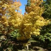 Acer-sangokaku-corallinum