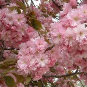 Prunus Serrulata Hisakura
