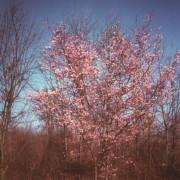 Prunus Subirtella Autumnalis