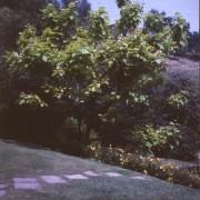 Catalpa Bignognoides Aurea